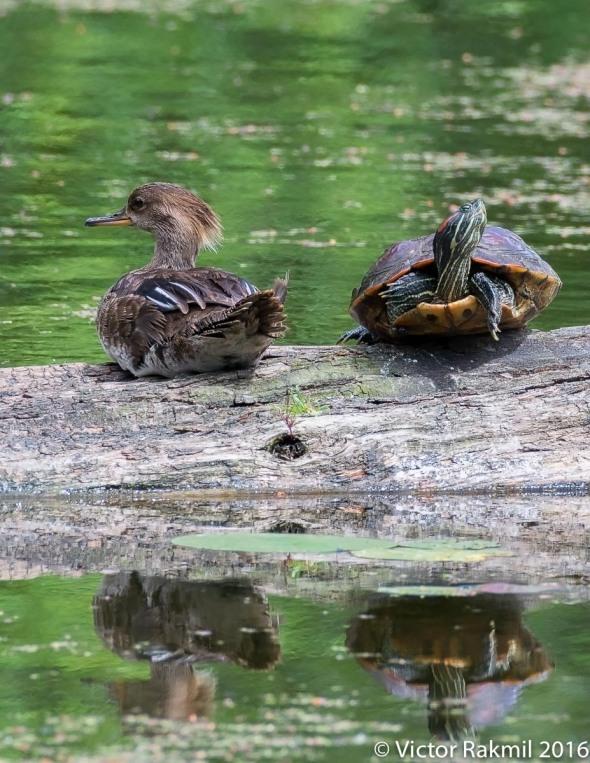 Wood Ducks-3