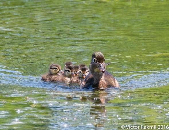 Woodduck Chicks