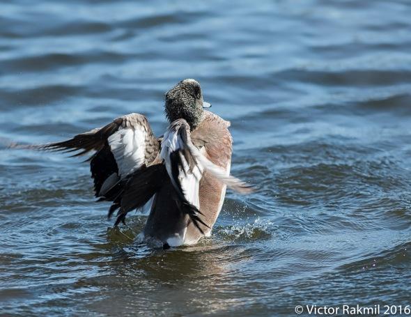 Dancing Wigeon 4