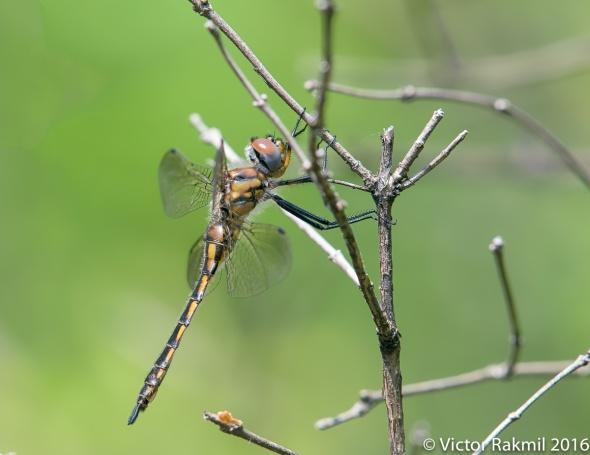 Dragonflies-3