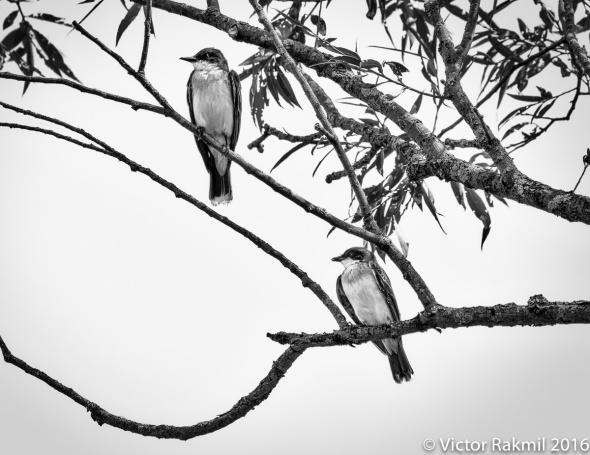 eastern-king-birds-3