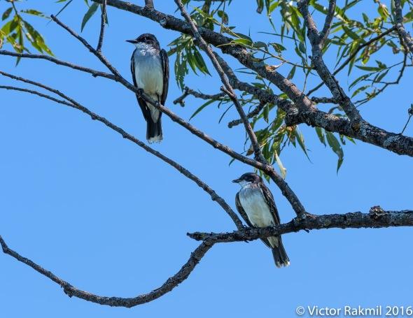 eastern-king-birds