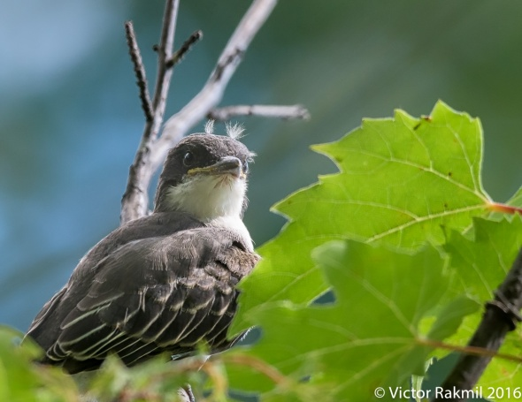 eastern-kingbirds-august-7-3