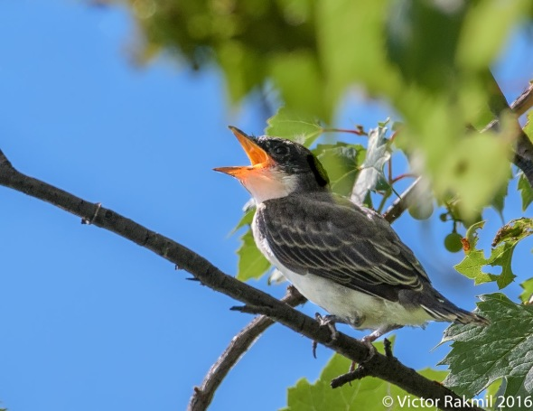 eastern-kingbirds-august-7