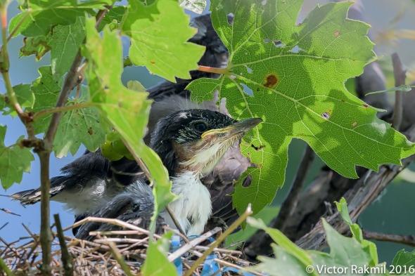 eastern-kingbirds-day-2-2