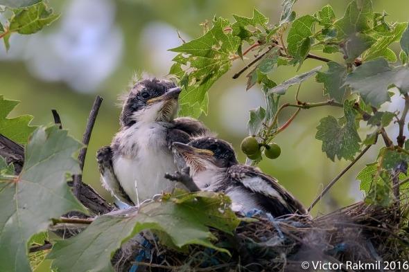eastern-kingbirds-day-2-3