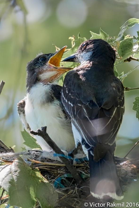 eastern-kingbirds-day-2-4