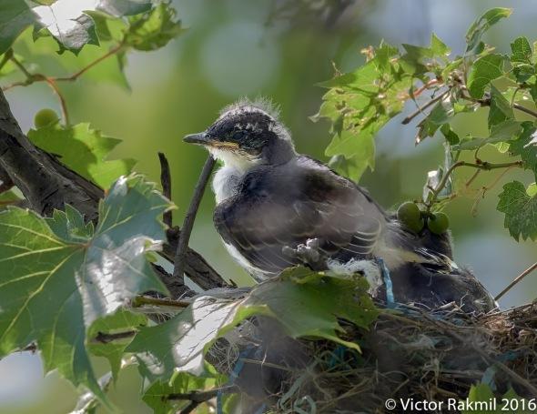 eastern-kingbirds-day-2