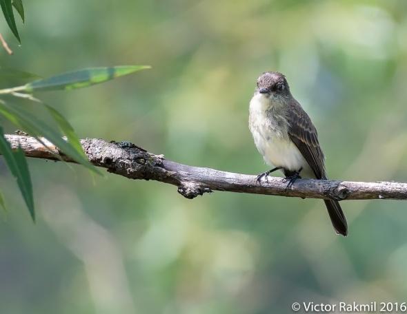 eatern-kingbird-2