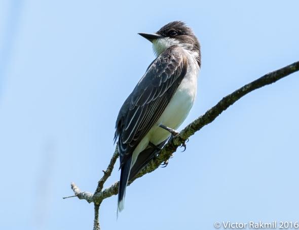 eatern-kingbird