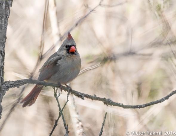 female-cardinal-2
