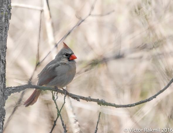 female-cardinal-3