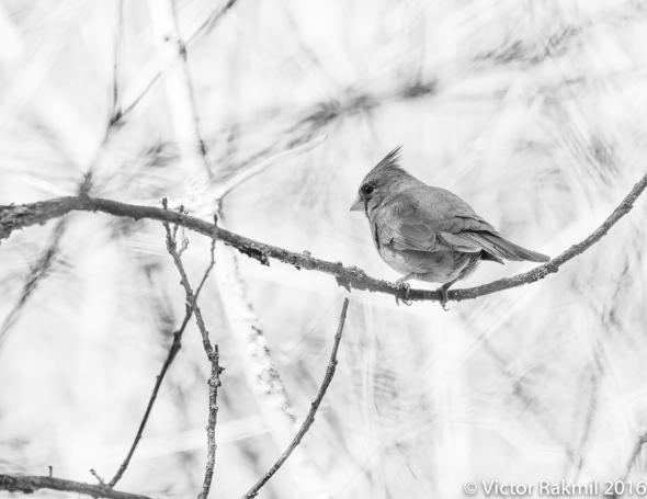 female-cardinal-4