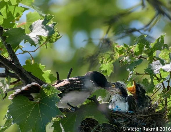 kingbirds-august-3rd-2