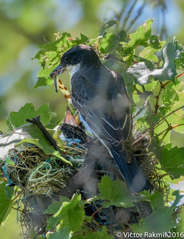 kingbirds-august-3rd-3