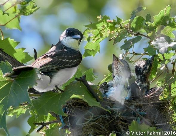 kingbirds-august-3rd-4