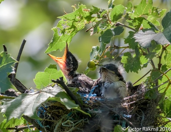 kingbirds-august-3rd-6