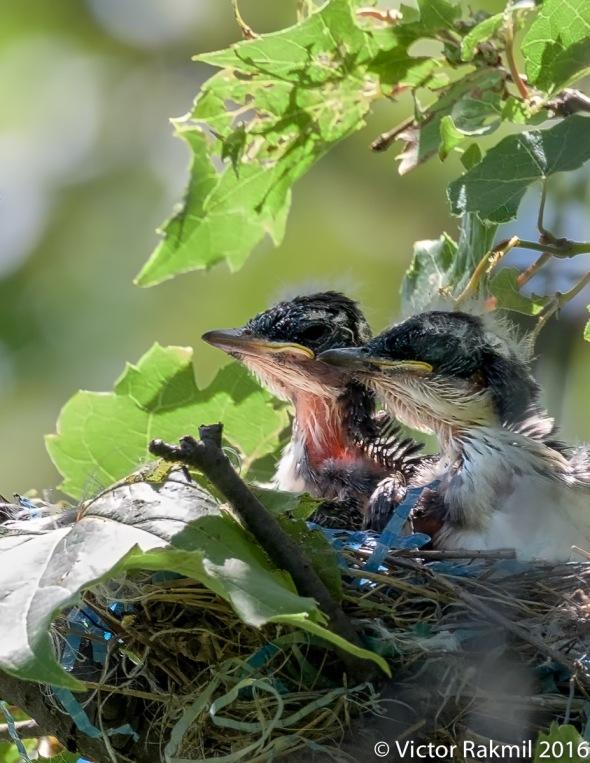 kingbirds-august-3rd-7