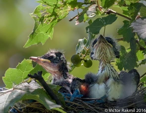 kingbirds-august-3rd-8