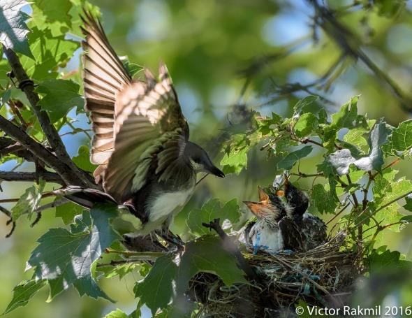 kingbirds-august-3rd