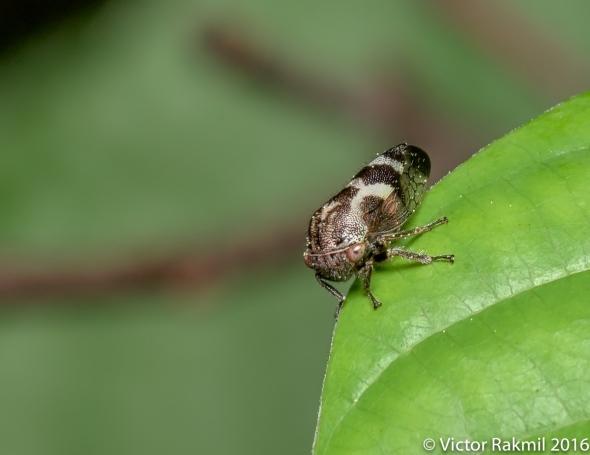 leaf-hopper-2