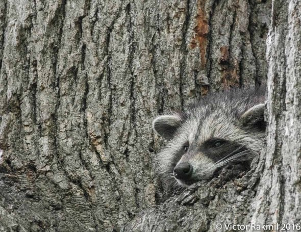 raccoon-3