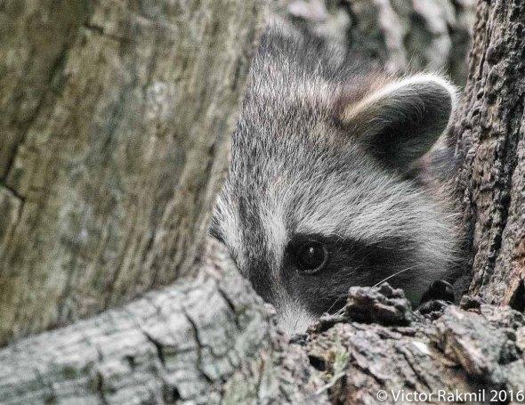 raccoon-4