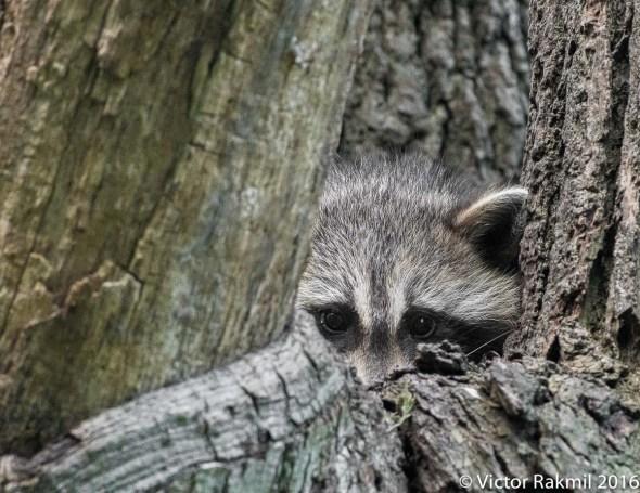 raccoon-5