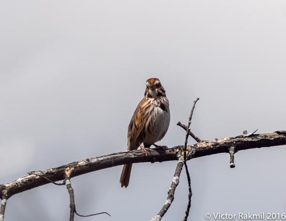 song-sparrow-2