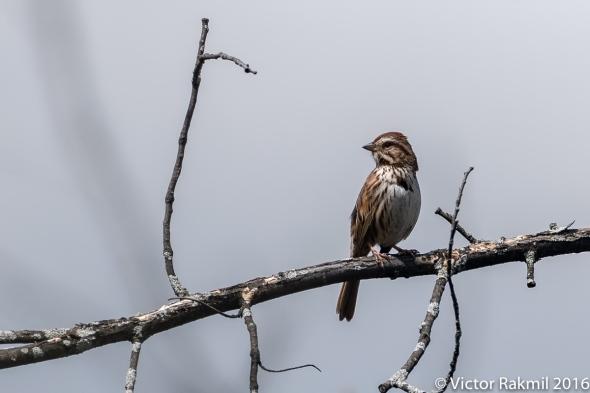 song-sparrow-3