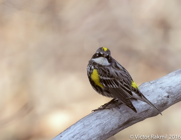 Yeliow-Rumped Warbler-3