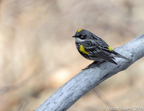 Yeliow-Rumped Warbler
