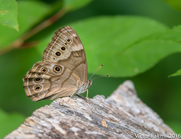 appalachian-brown