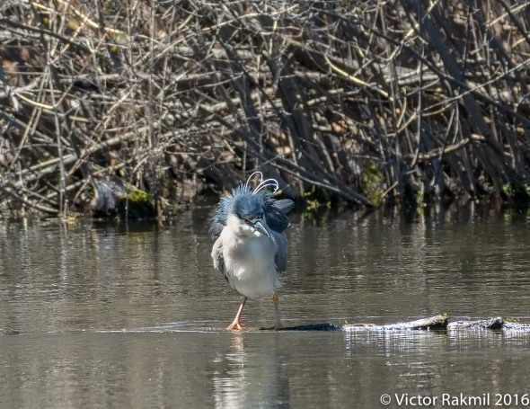 black-crwned-night-heron-2