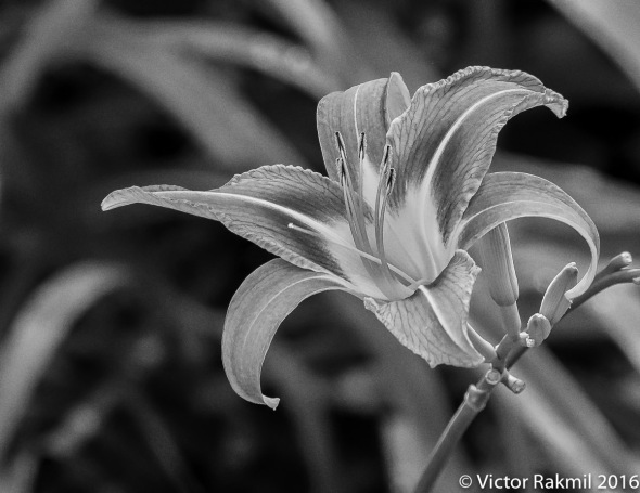 common-day-lily-3