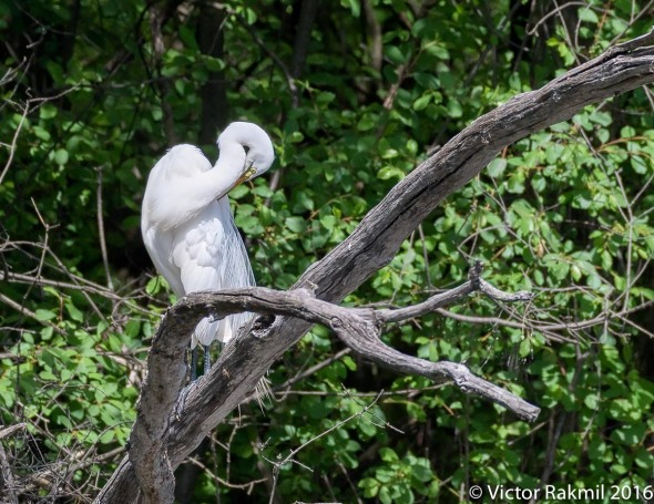 egret-preening-2
