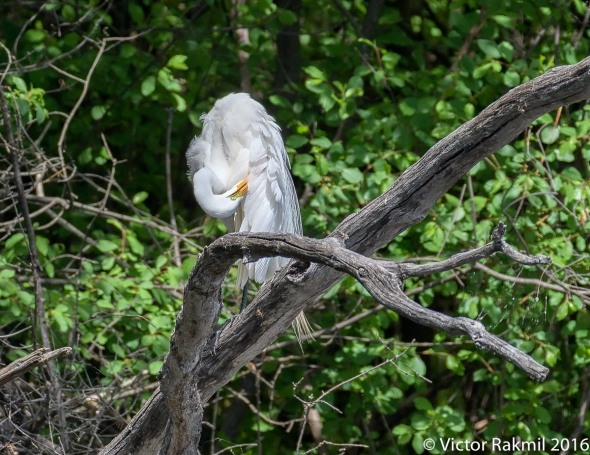 egret-preening-3