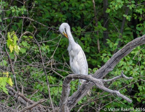 egret-preening
