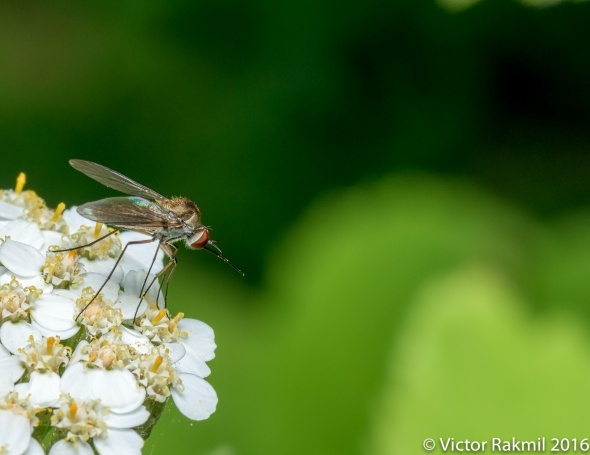 lon-legged-fly-2