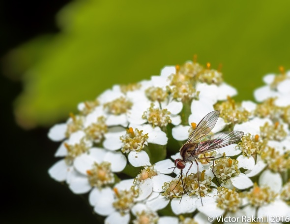 lon-legged-fly