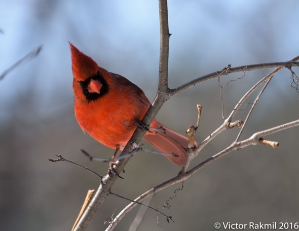 male-cardinal-2