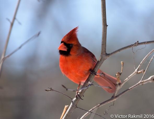 male-cardinal-3