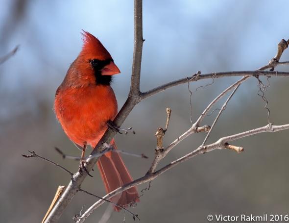 male-cardinal-4