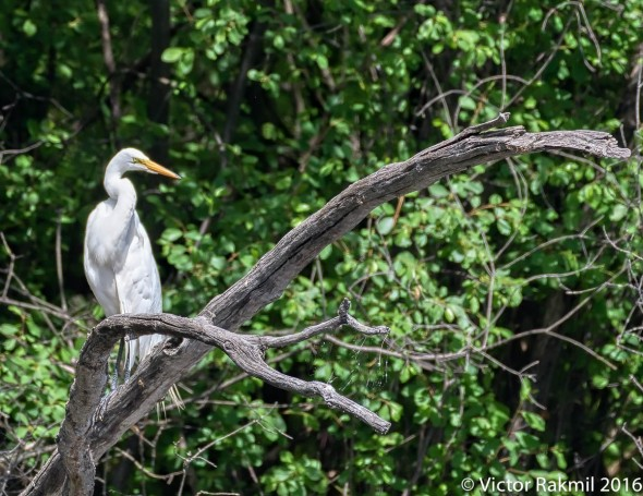 perched-egret