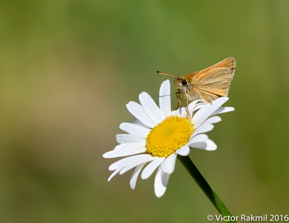 skipper-butterfly