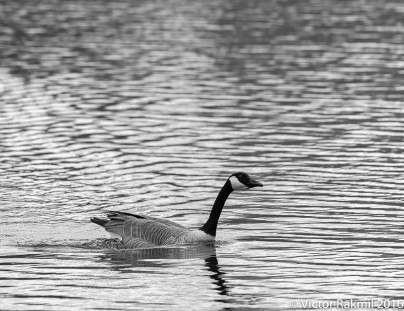 canada-goose-3
