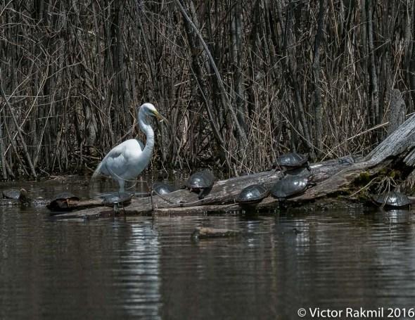 egret-fishing-3