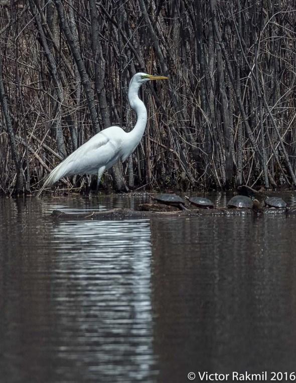 egret-fishing