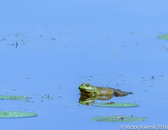 frogs-2
