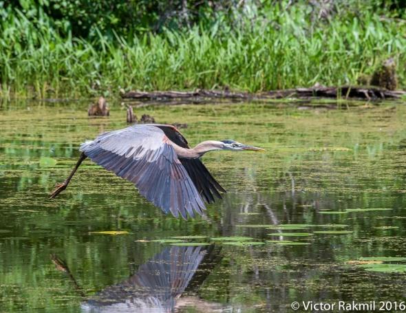 great-blue-heron-in-flight-2